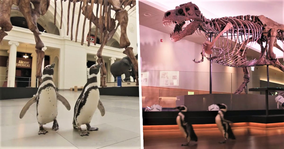 Penguins Allowed To Roam Around Museum To See Dinosaurs While It's Closed To Public