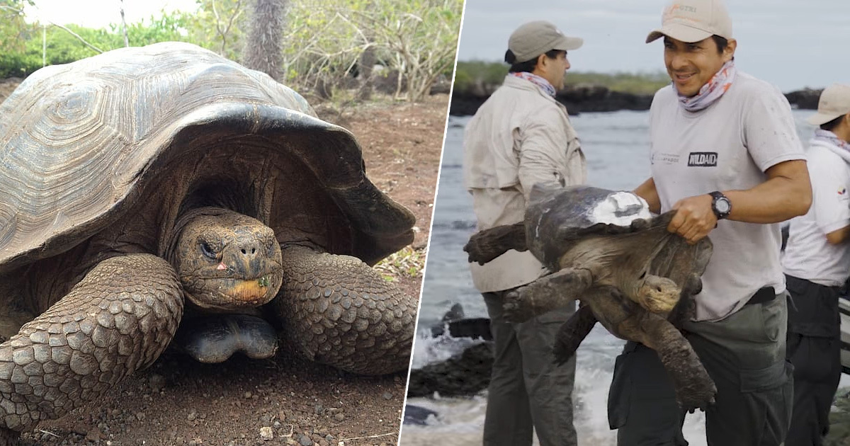 Giant Tortoises That Saved Their Species From Extinction Return Home After 55 Years