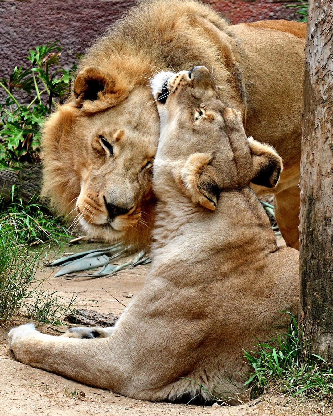 Elderly Lion Couple Put To Sleep At Same Time So Neither Has To Live Alone