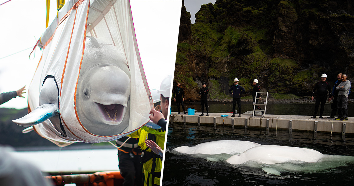 Two Beluga Whales Rescued From Captivity And Taken To Ocean Refuge 6,000 Miles Away