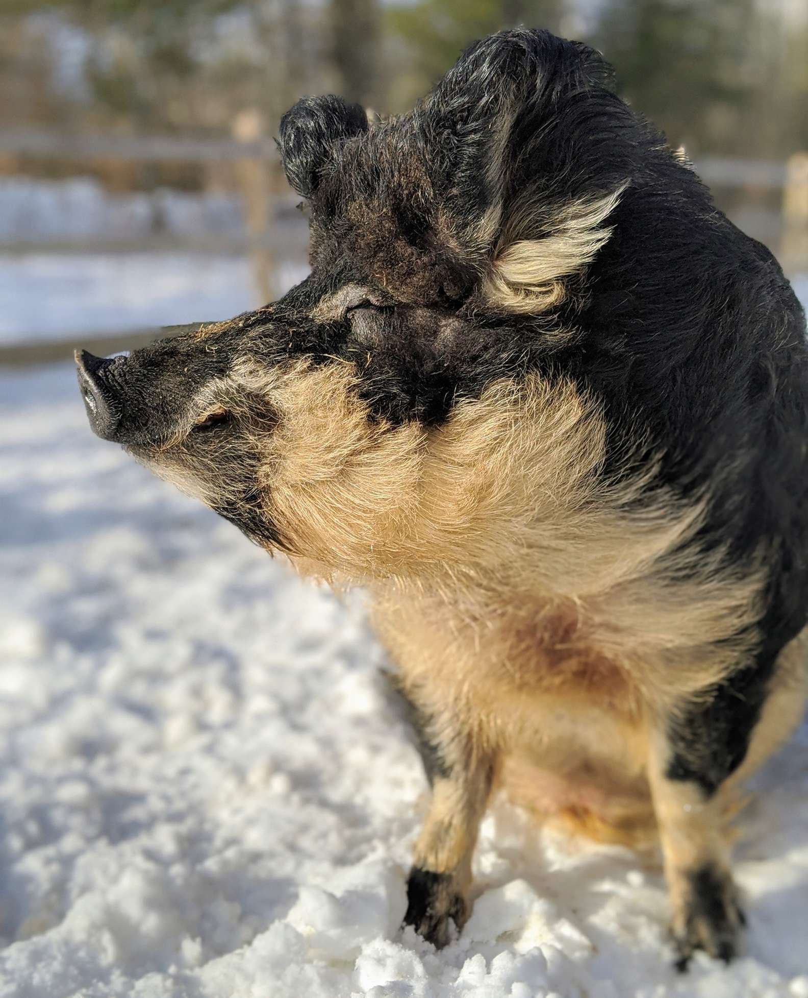 These Furry Pigs Look Like Sheep And Act Like Dogs