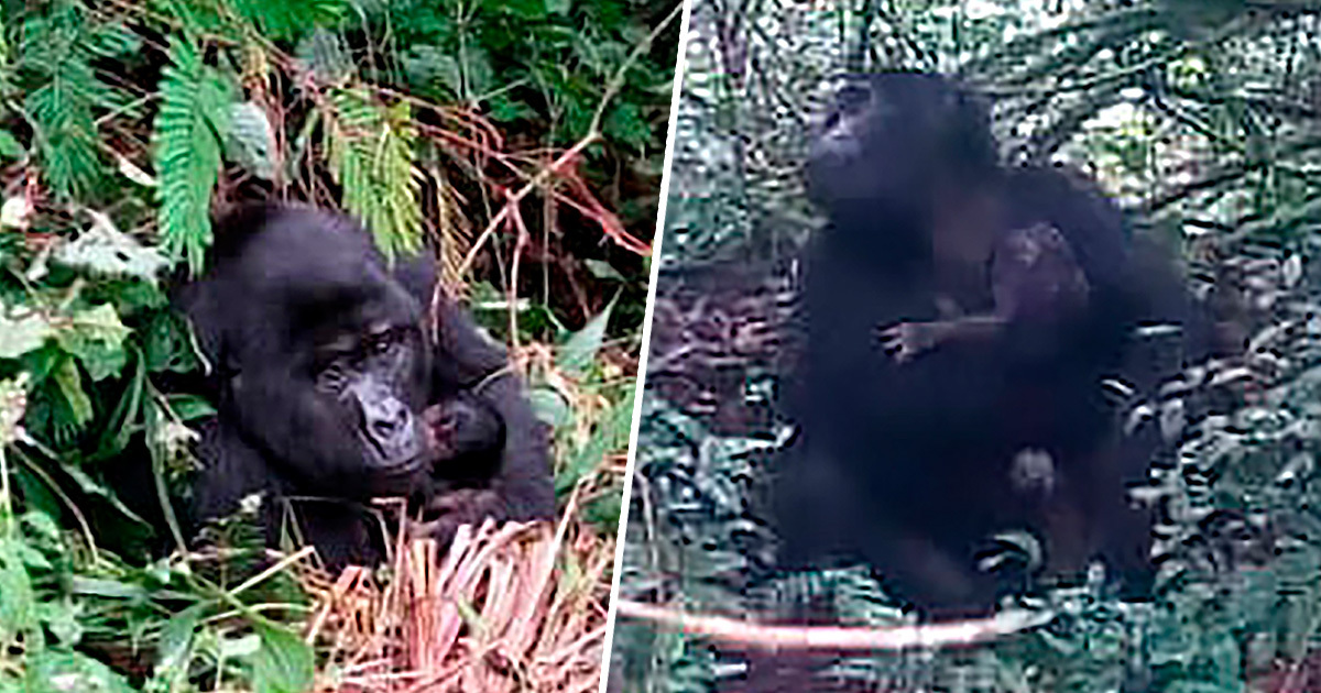 Gorilla 'Baby Boom' Is Happening In Uganda's Bwindi Impenetrable National Park