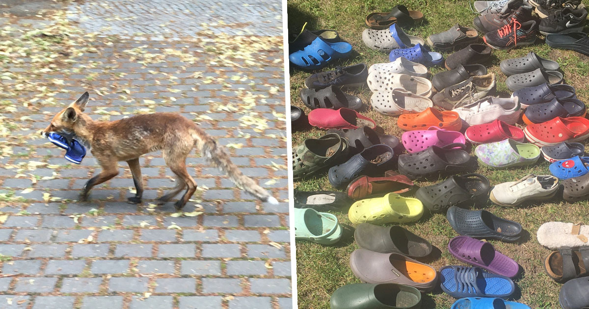 Fox Found With Impressive Collection Of Over 100 Stolen Shoes