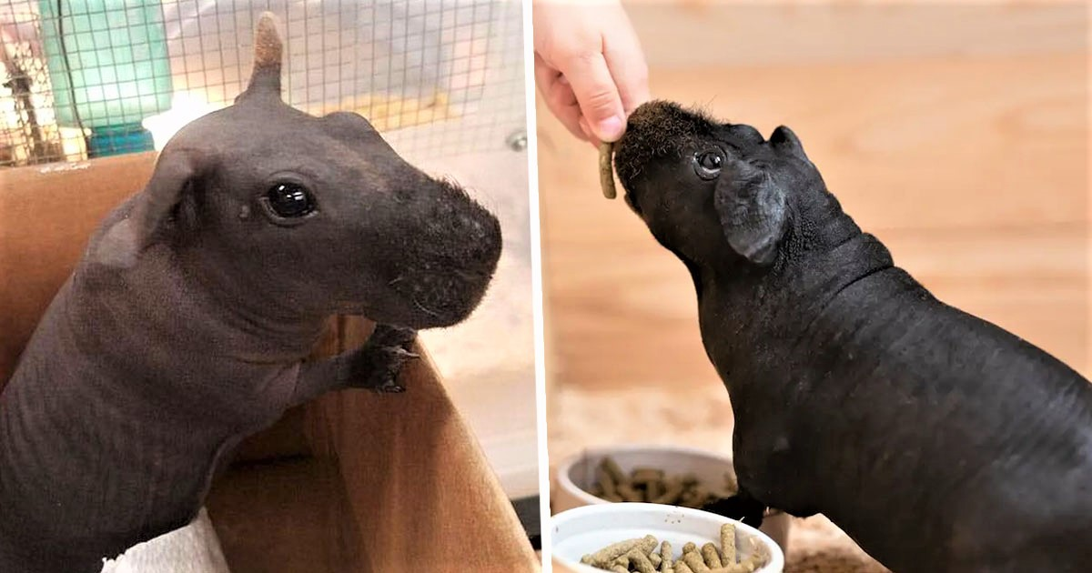 Skinny Pigs Are Hairless Guinea Pigs That Look Like Little Hippos