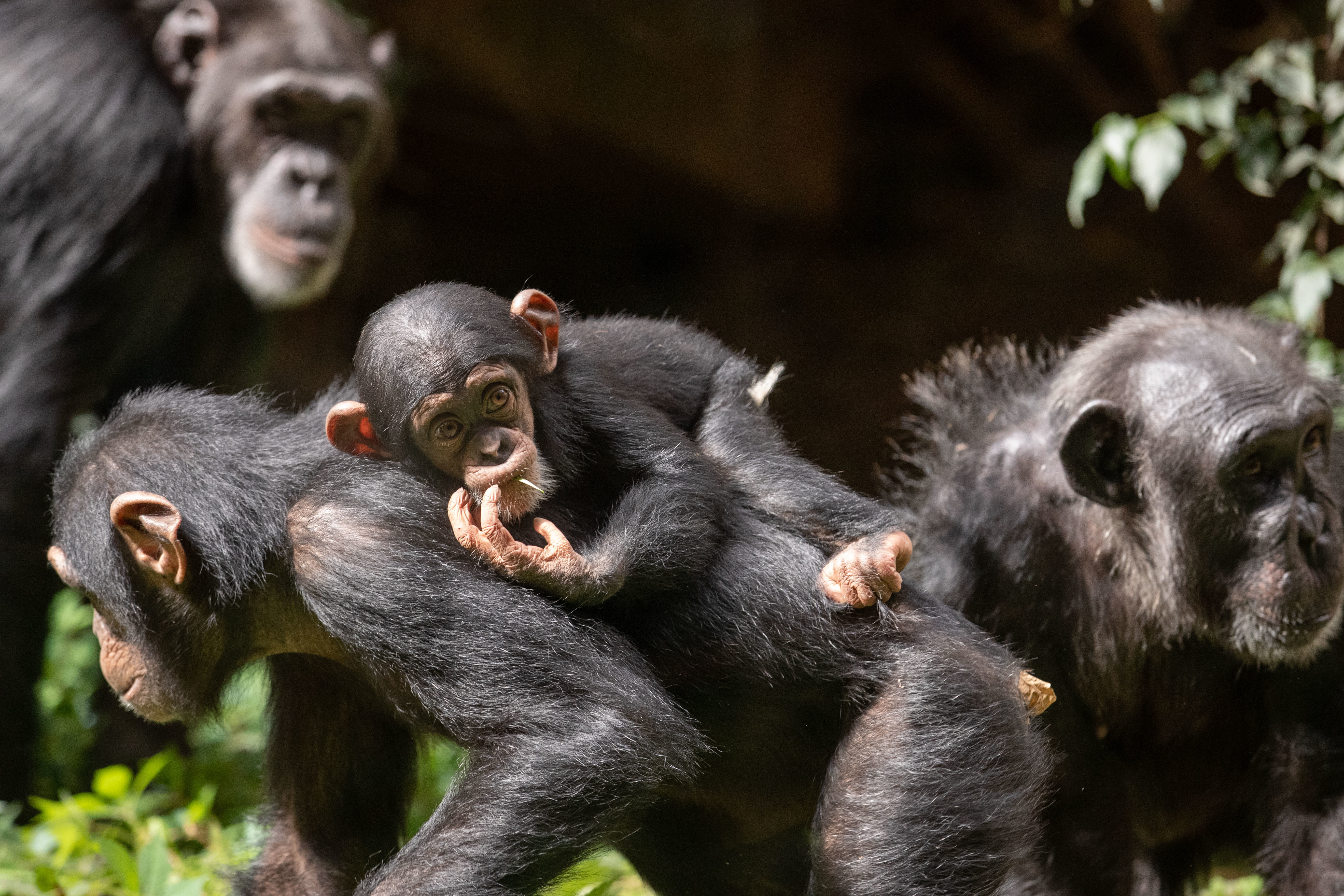 New arrival of two chimpanzees at Osnabrück Zoo