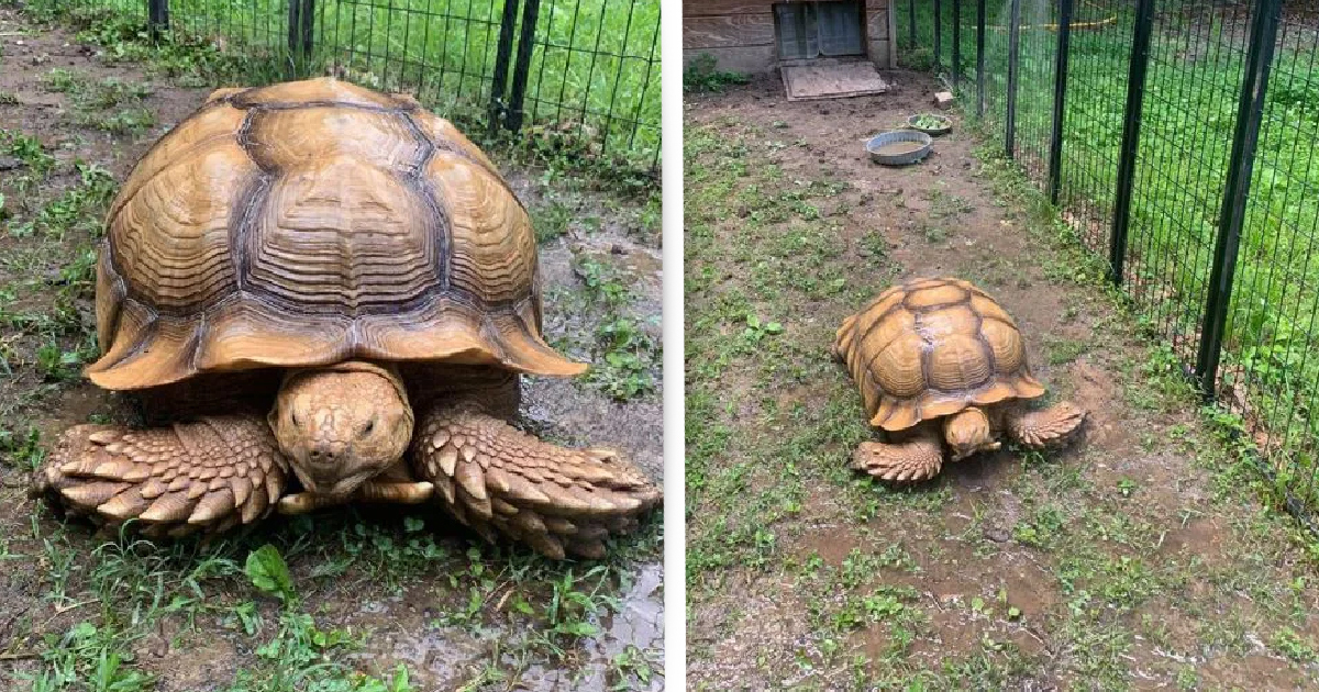 Massive Tortoise Missing For 74 Days Found Just 200m Away From Home