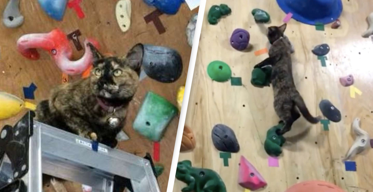 Athletic Cat Makes It All The Way To The Top Of Rock Climbing Wall