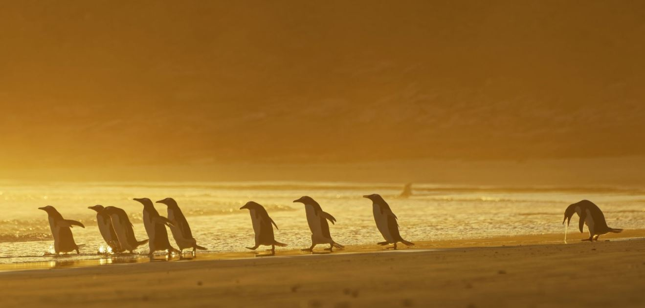 Penguin throws up at the back of a group