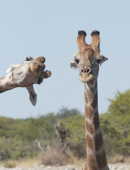 Giraffe photobombs picture