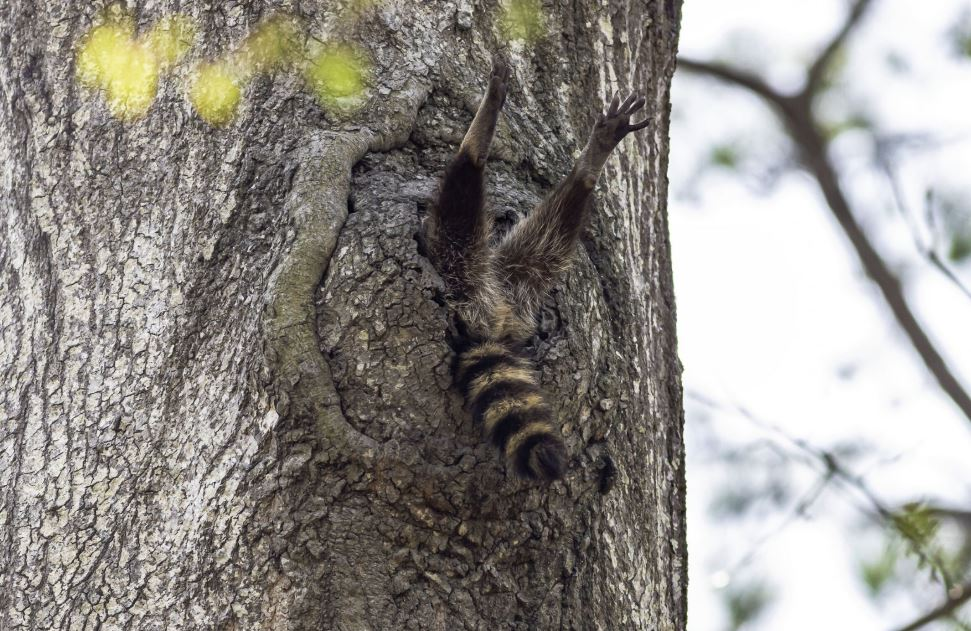 Animal stuck in the hole of a tree