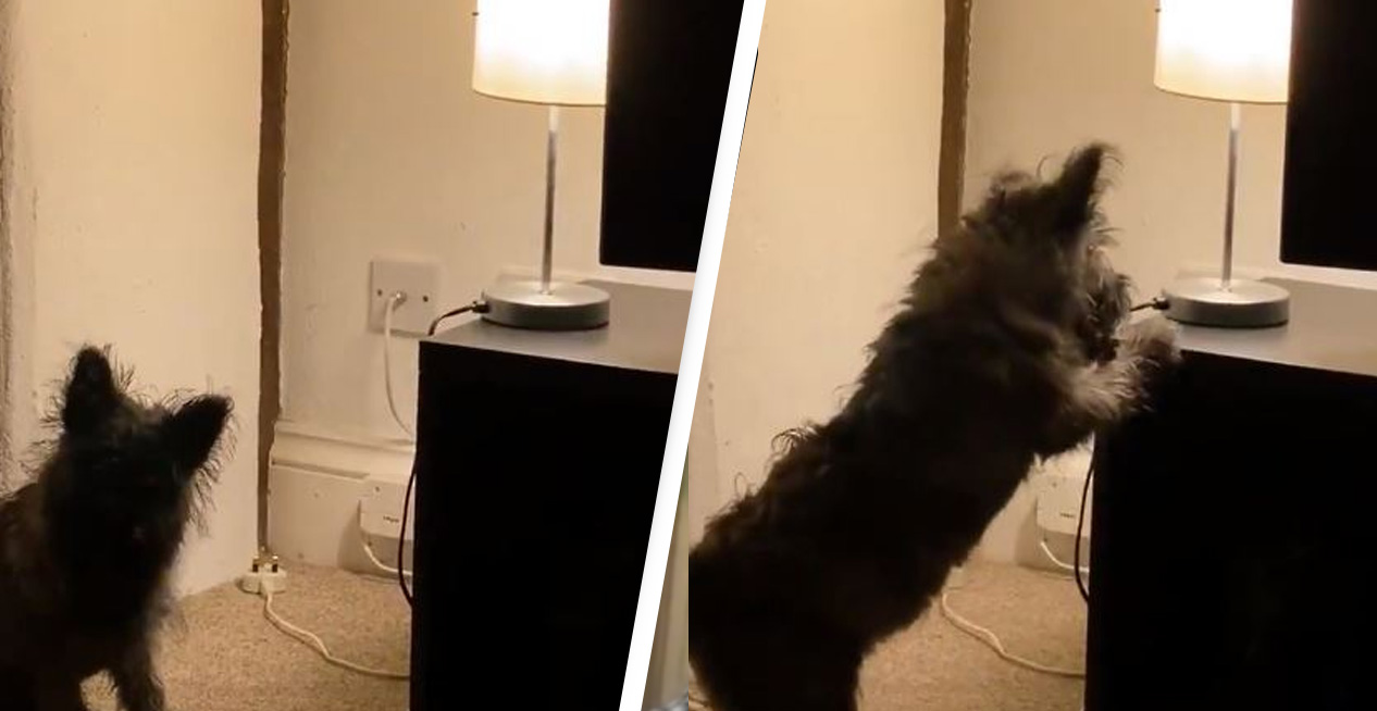 Dog Goes Mad With Power When She Realises She Can Turn Light On And Off