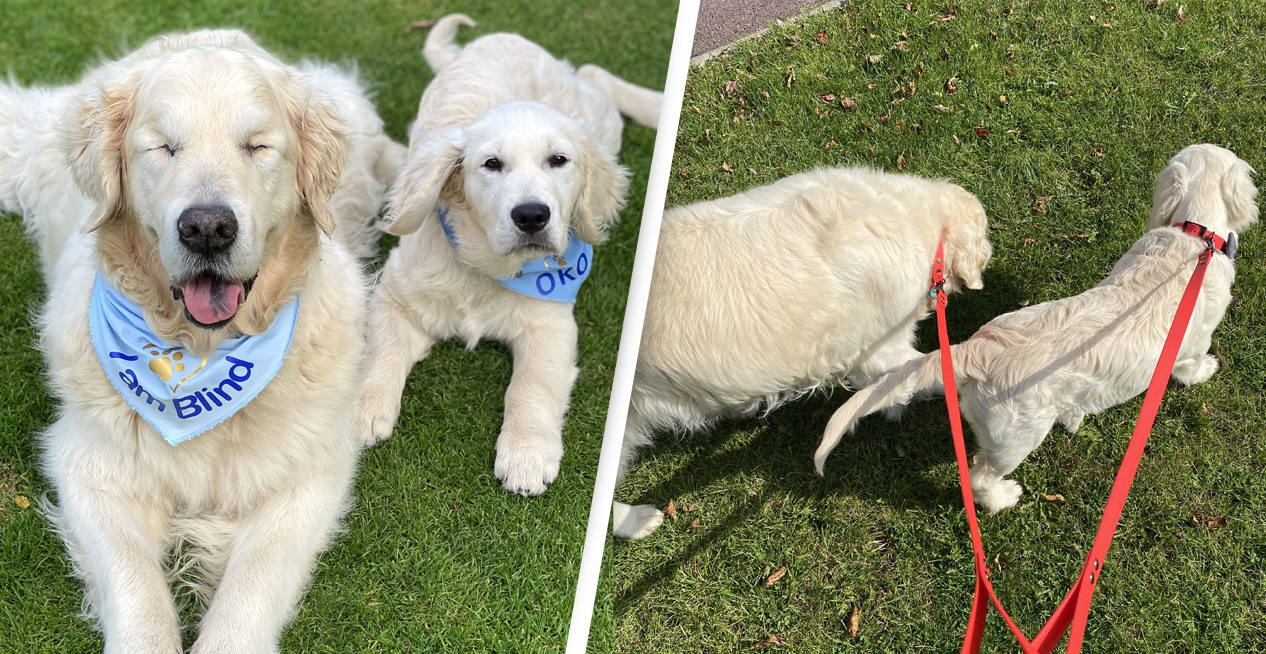 Blind Golden Retriever Gets His Own Guide Dog Puppy
