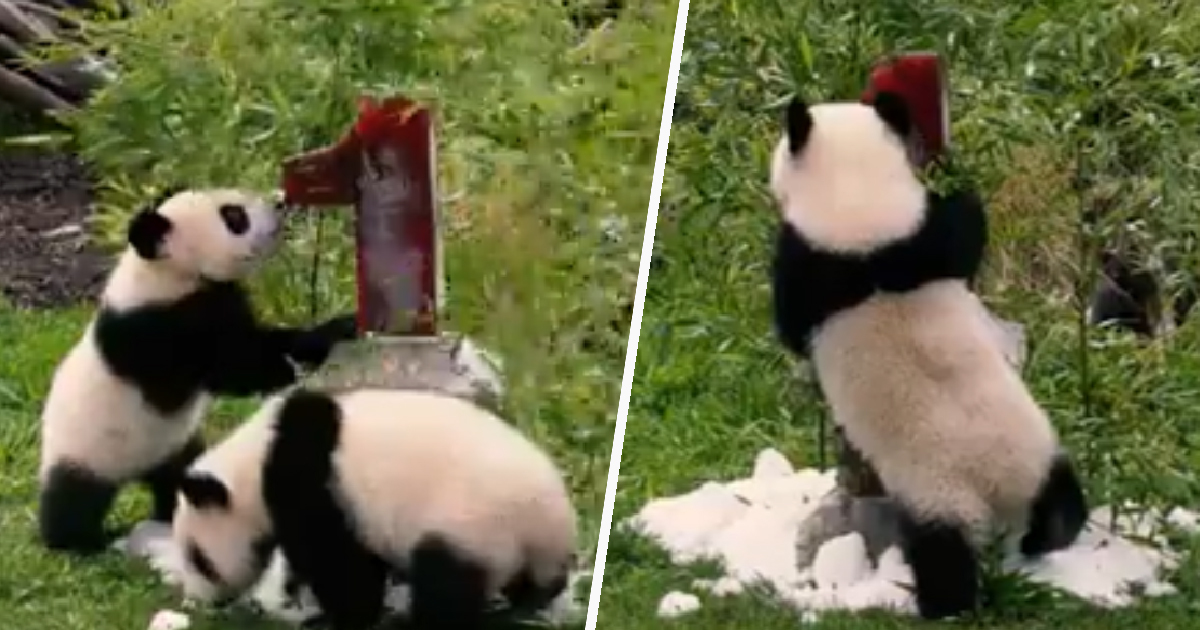 Meng Meng The Giant Panda's Twins Celebrate Their First Birthday