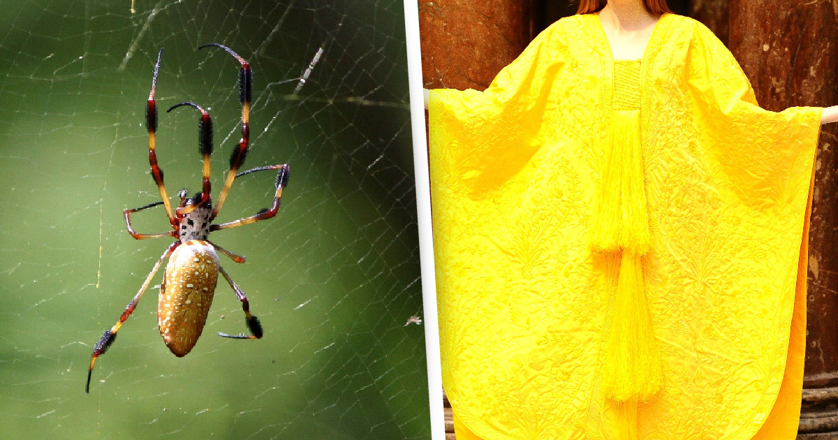 Arachnophobe Milks 1.2 Million Spiders Over Seven Years To Make Cape From Their Silk