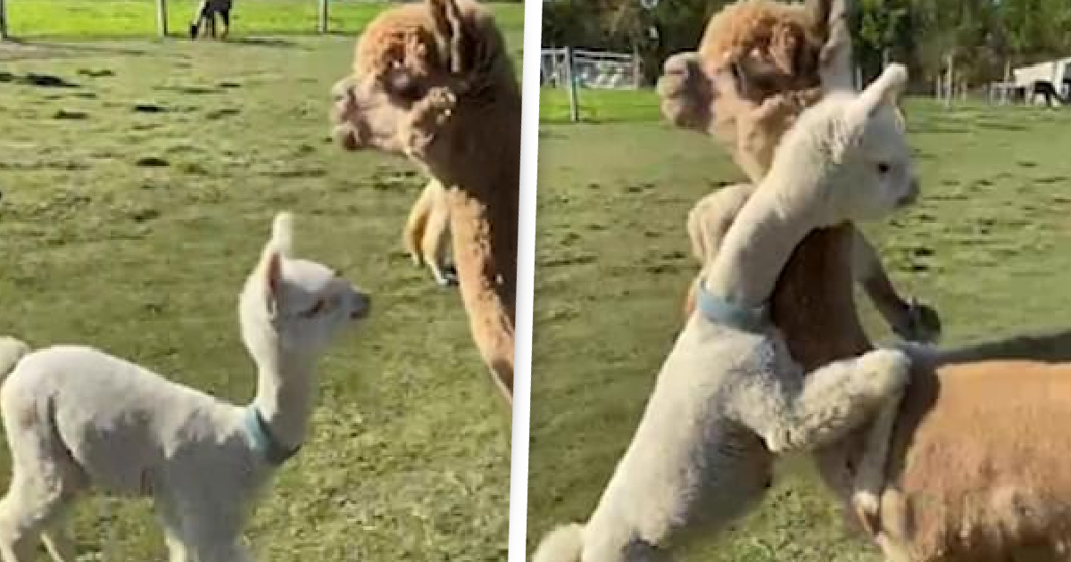 Baby Alpaca Runs Over And Hugs Its Mum In Adorable Video