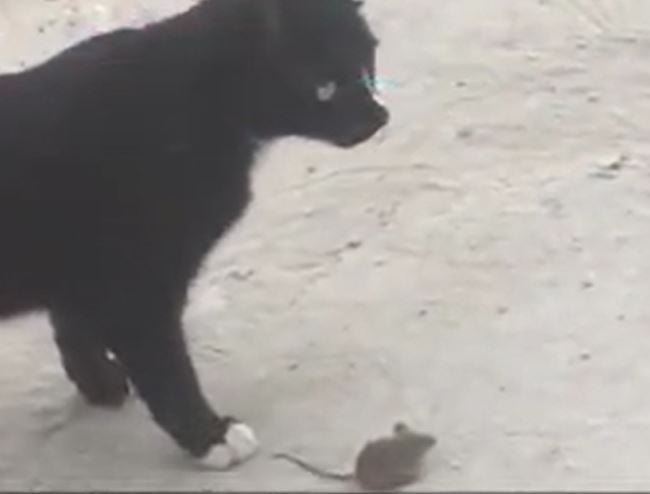 Cat chases mouse in China