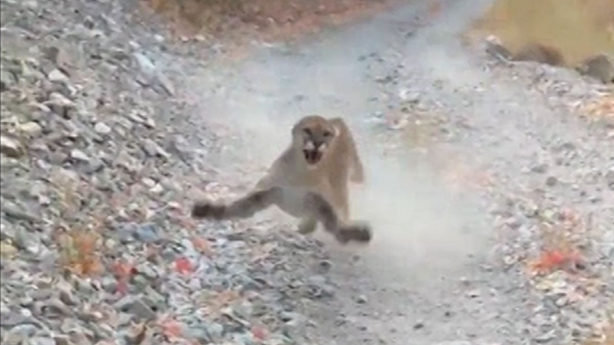 Man Stalked By Cougar For Six Whole Minutes On Daily Run
