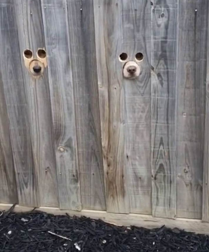Woman Makes Dog-Sized Holes In Fence So Labradors Can Spy On People
