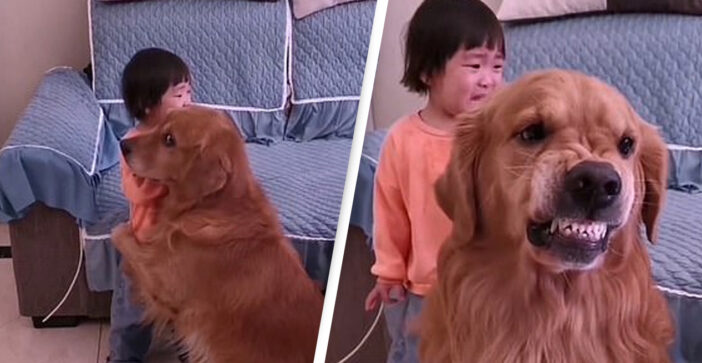 Harry The Golden Retriever Protects Girl Being Told Off