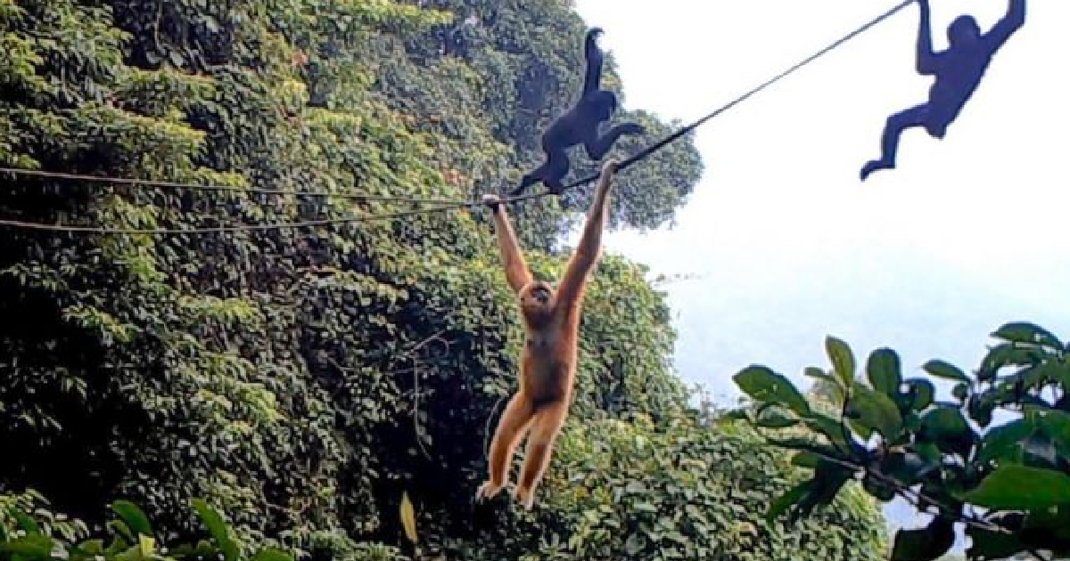 World's Rarest Primate May Be Saved From Extinction By Rope Bridge