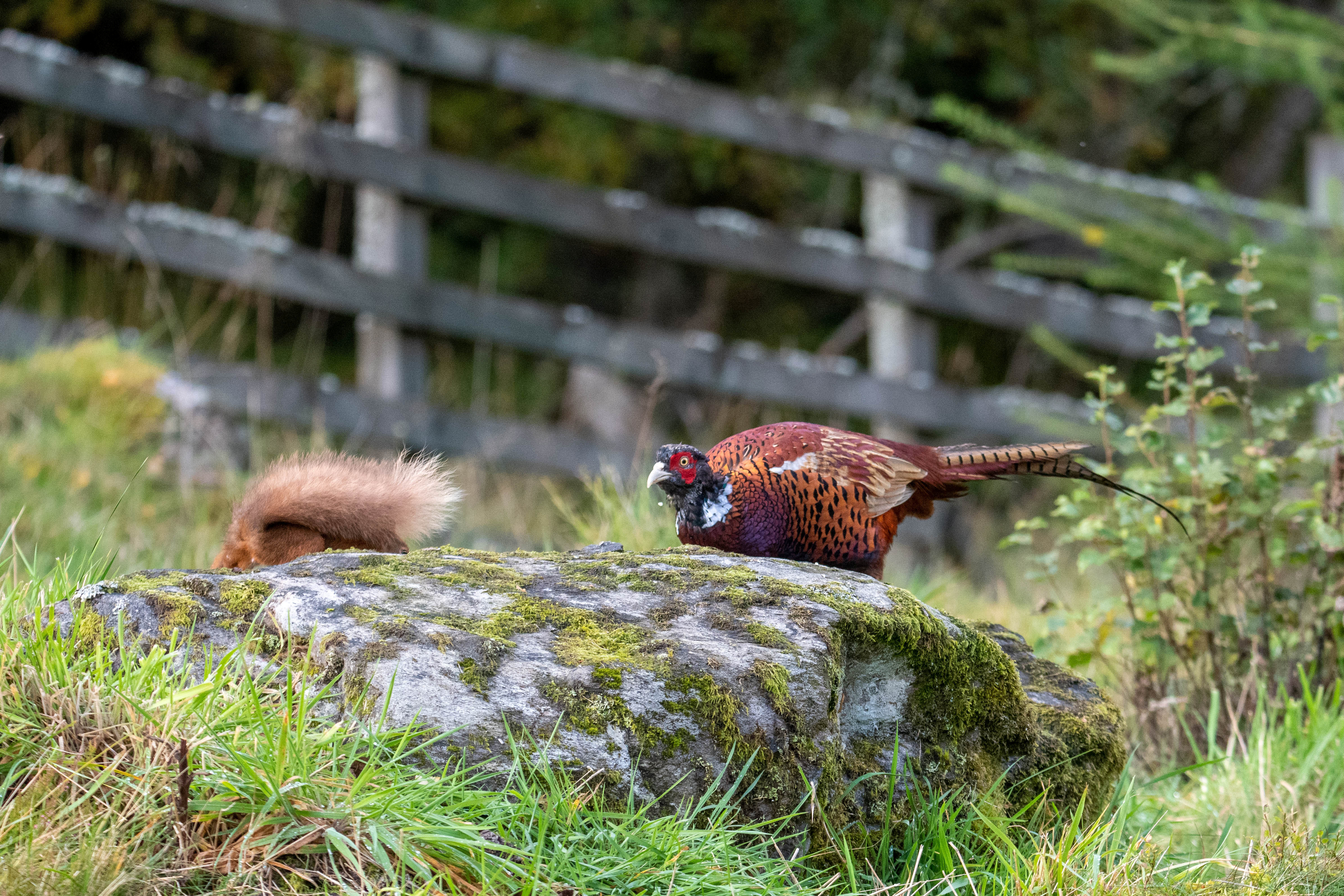 Red Squirrel And Pheasant Face Off Over Some Nuts