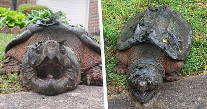 Ginormous 65-Pound 'Alligator Snapping' Turtle Found Roaming Streets