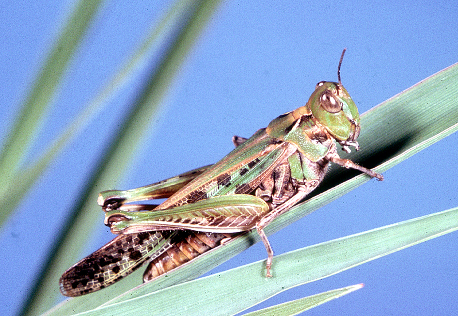 Australians Warned Of Locust Swarms As Clusters Spotted In ...