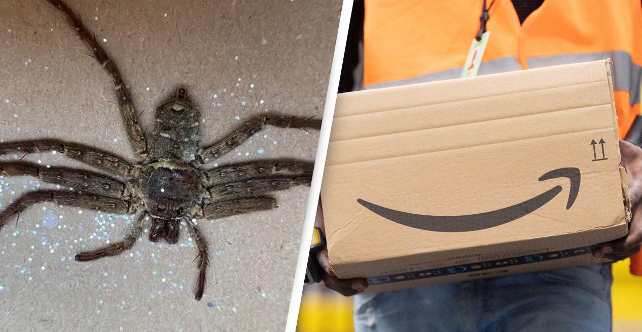 Couple Horrified After Finding Ginormous Huntsman Spider In Amazon Parcel