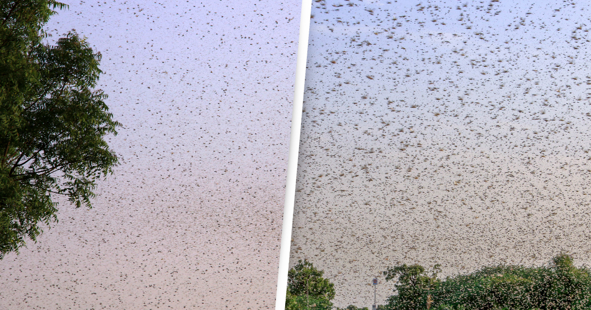 Australians Warned Of Locust Swarms As Clusters Spotted In Victoria