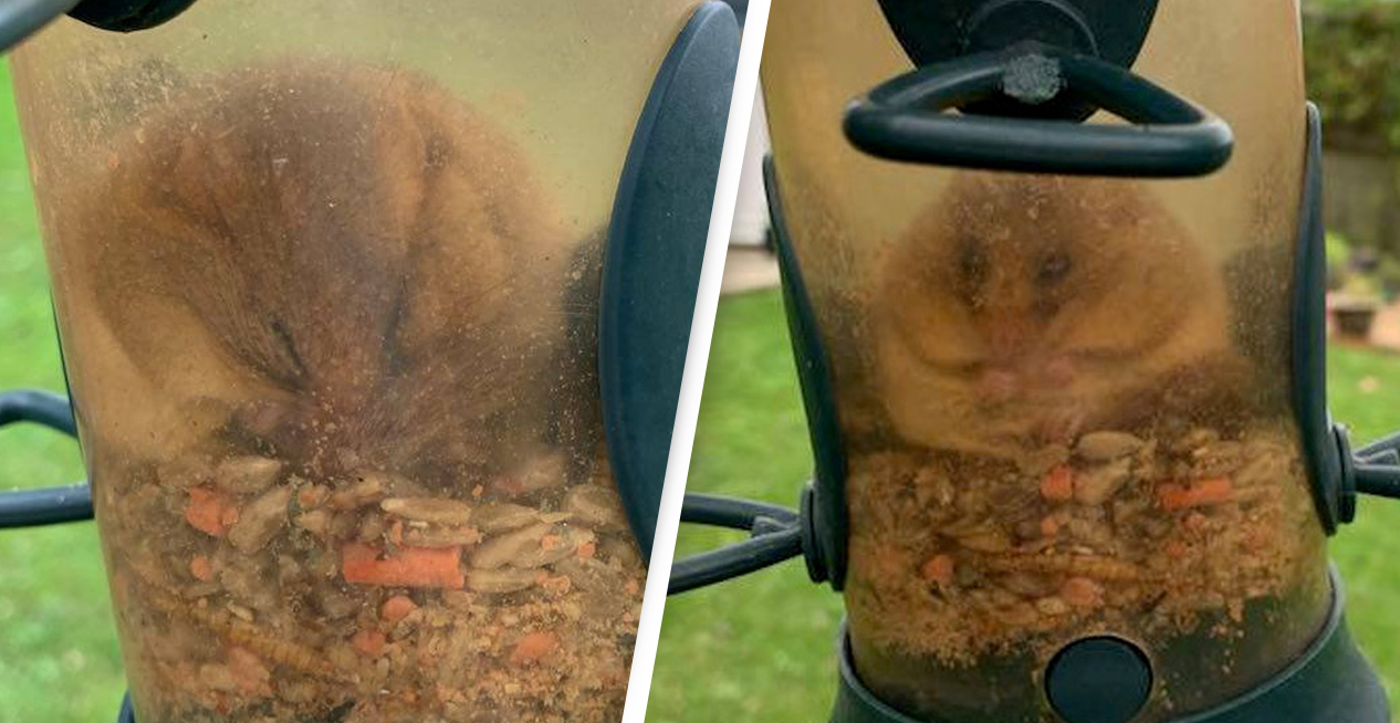 Dormouse Accidentally Traps Himself In Bird Feeder After Eating So Much He Couldn't Get Out