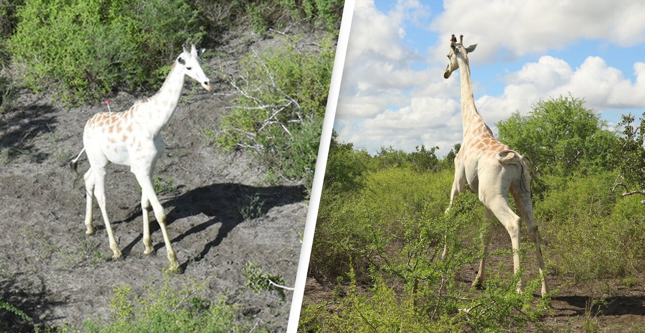 World's Last Remaining White Giraffe Fitted With GPS To Protect It From Poachers