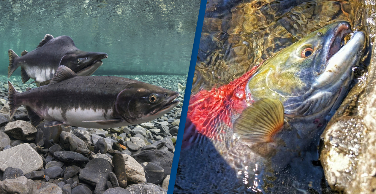 Scientists Finally Find Reason For Mysterious Salmon Deaths On West Coast