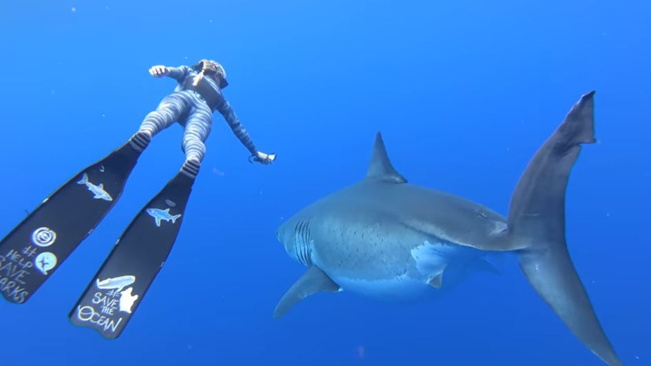 Legendary Deep Blue Is The World's Biggest Recorded Great ...