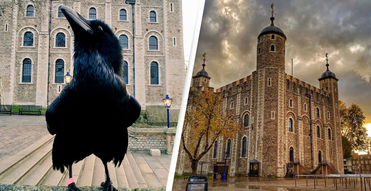 Tower Of London Raven Missing And Feared Dead