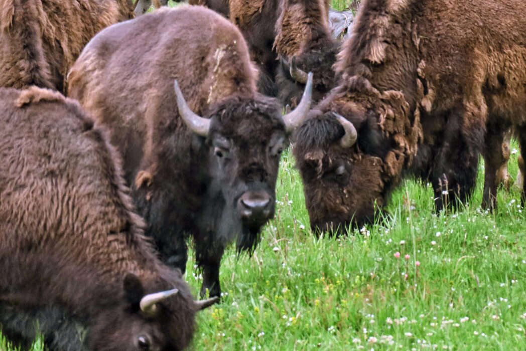 Volunteers will shoot Grand Canyon bison