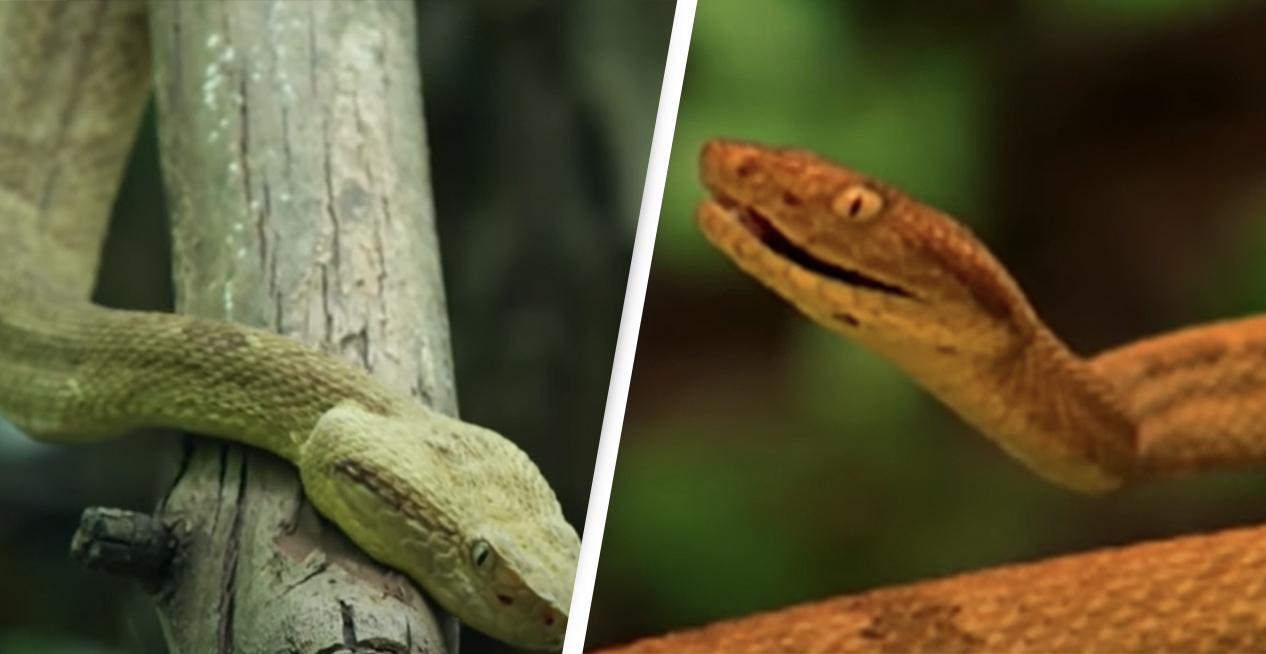 Inside One Of The World's Deadliest Islands Overrun By Venomous Snakes